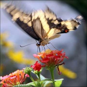 medium_papillon.2.jpg